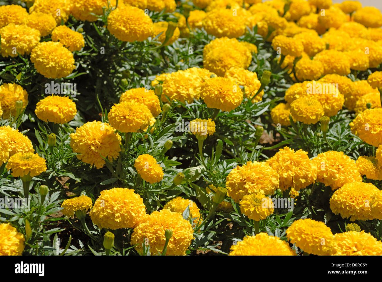 Field marigold flower stock photos field marigold flower stock marigold flower field stock image mightylinksfo