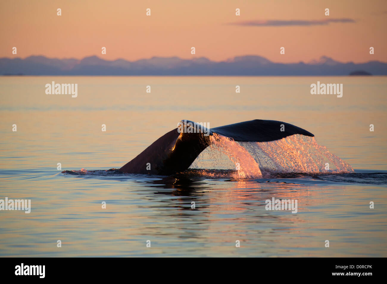 Humpback whale at sunset, Tongass National Forest, Alaska. - Stock Image