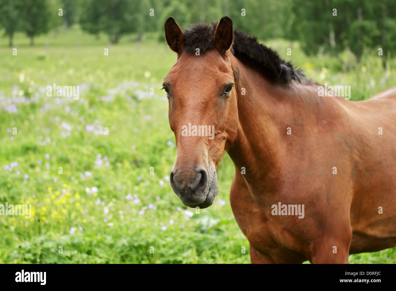 Bay horse looks in the chamber - Stock Image