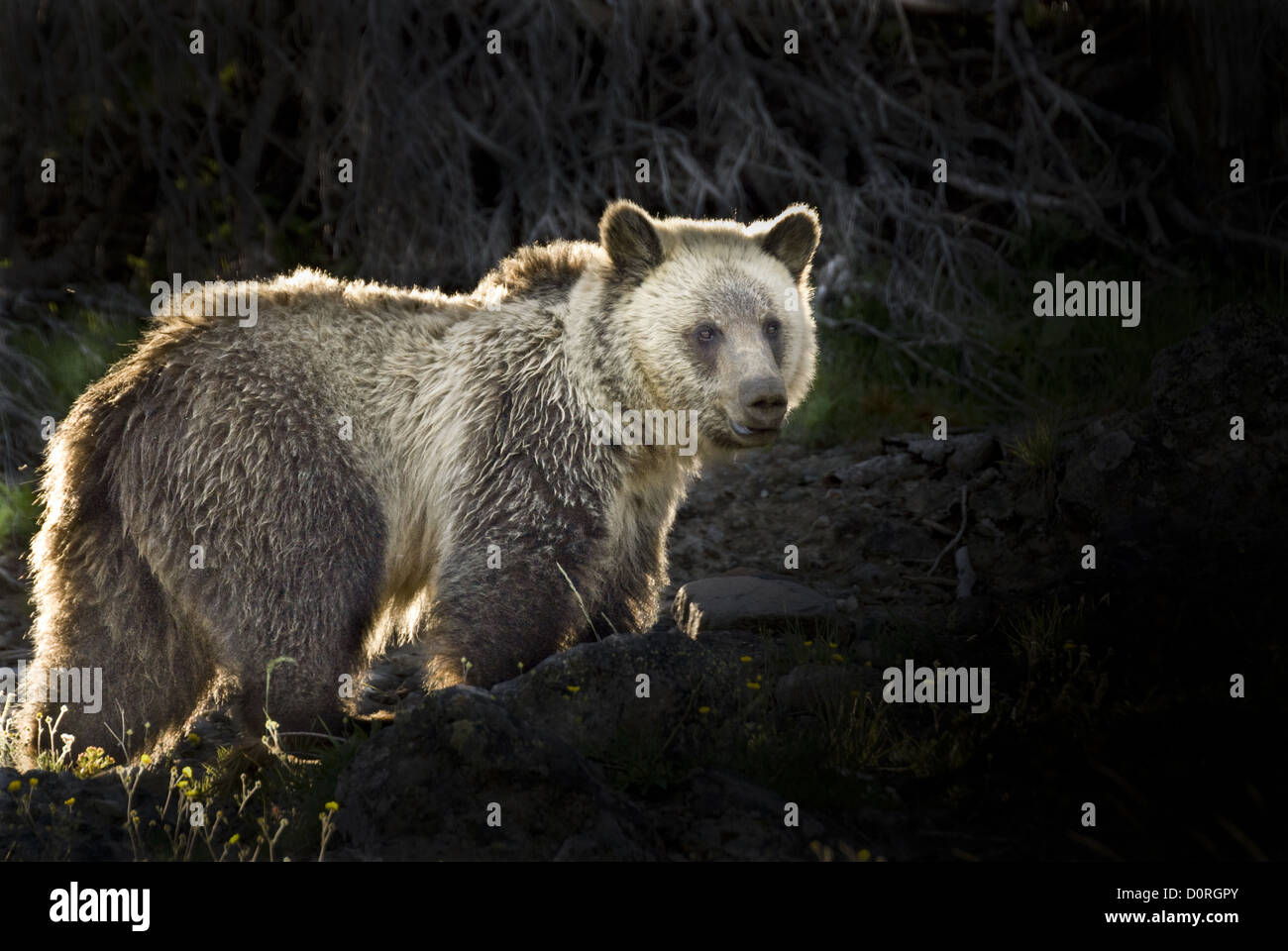 Silvertip Grizzly Bear - Stock Image