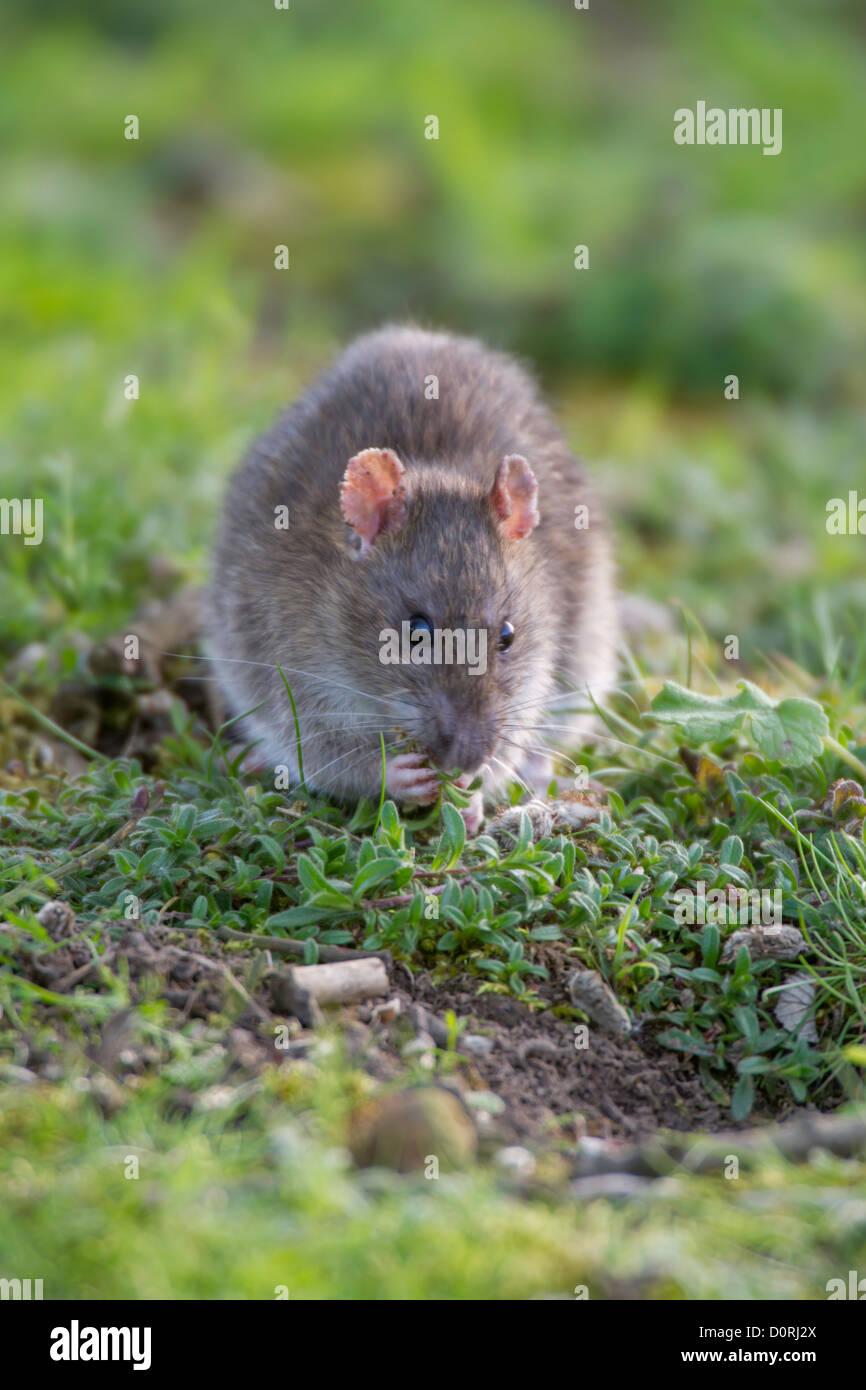 Brown Rat (Rattus norvegicus) sat amongst vegetation feeding. - Stock Image