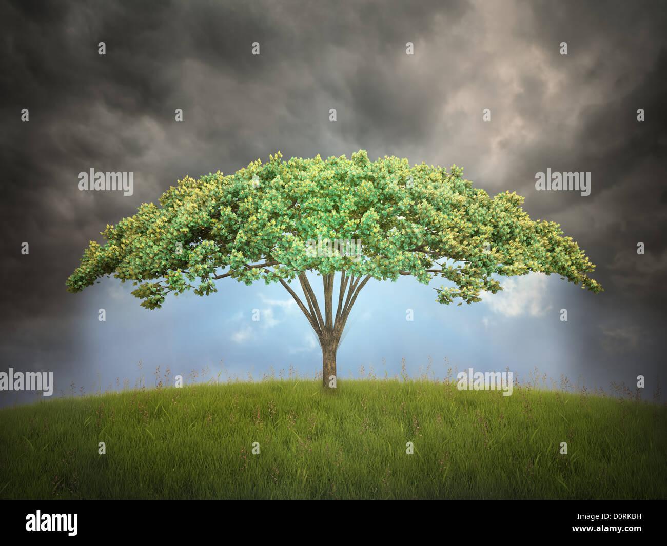 Umbrella shaped tree - Stock Image