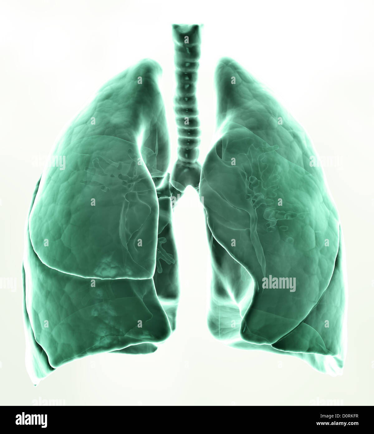 3D medical illustration - lungs - Stock Image
