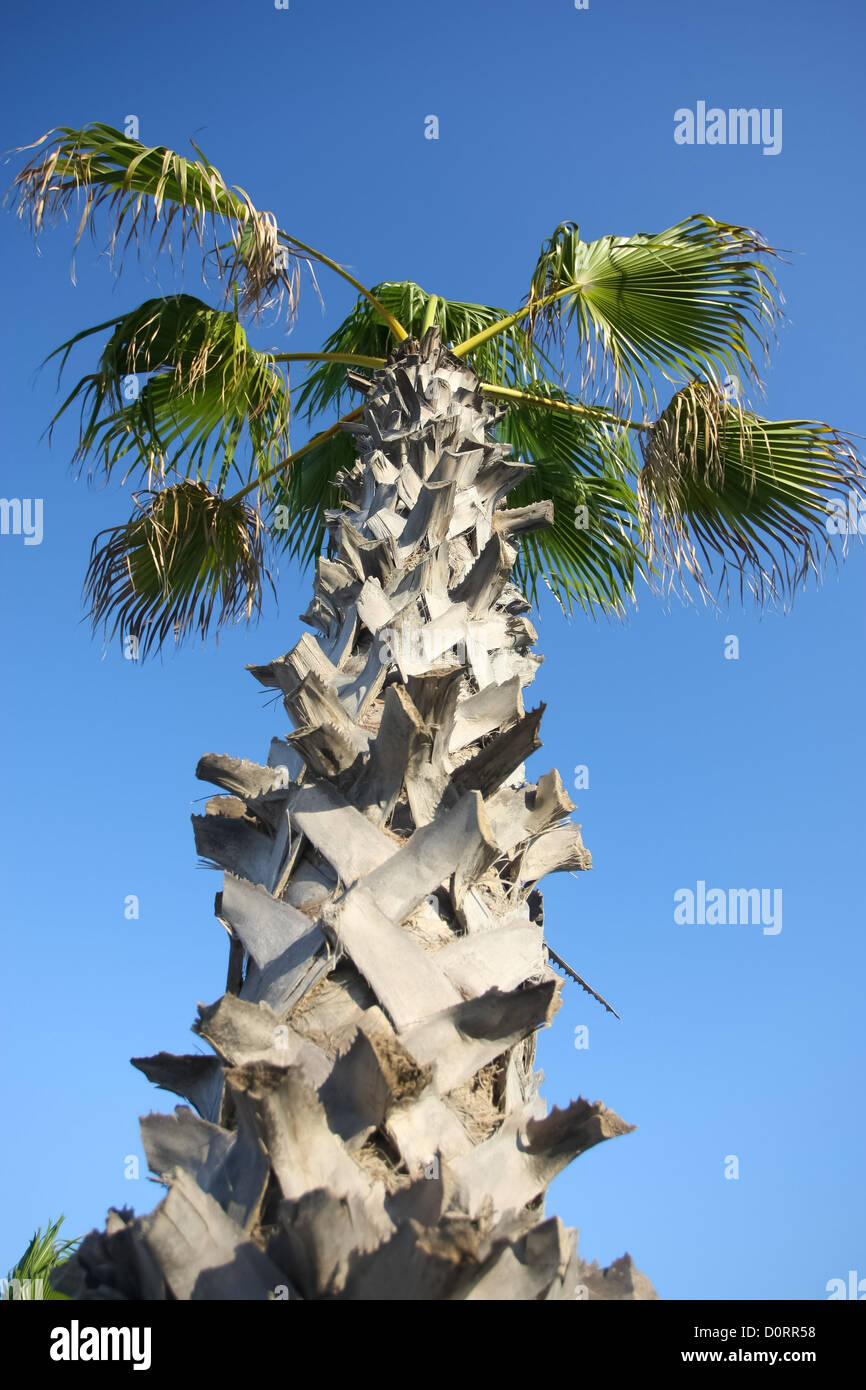 Corny palm date tree with clear blue sky. - Stock Image