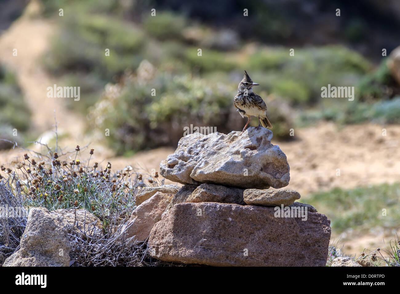 Eurasian Skylark Cyprus Stock Photo