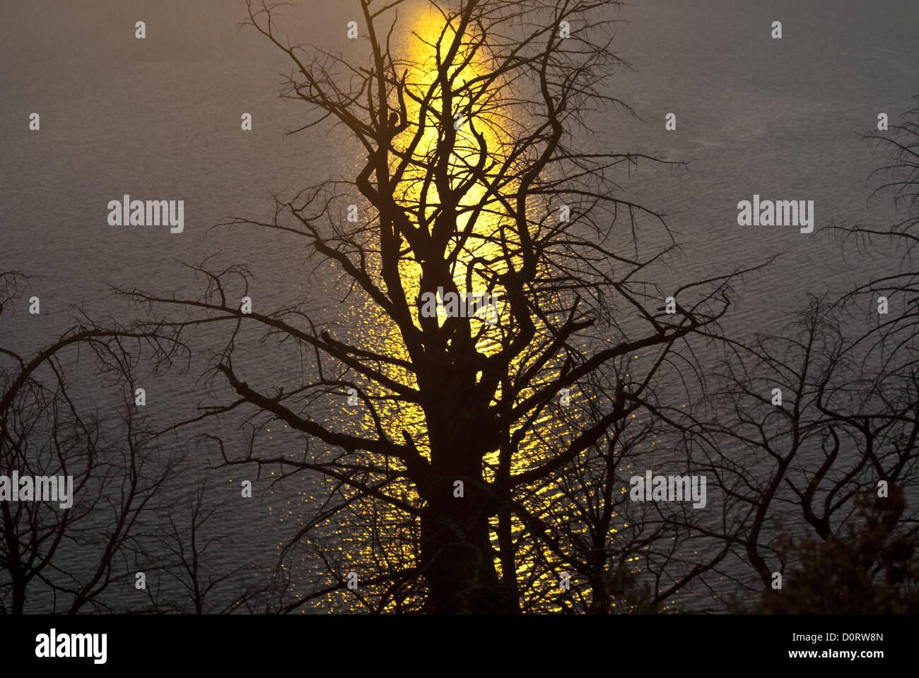 Firey Tree in Evening's Light - Stock Image