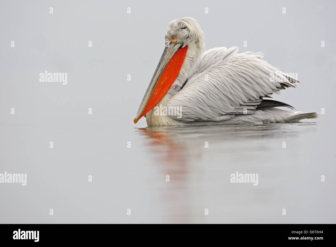 Dalmatian pelican, male, breeding plumage, Pelicanus crispus, Bulgaria - Stock Image