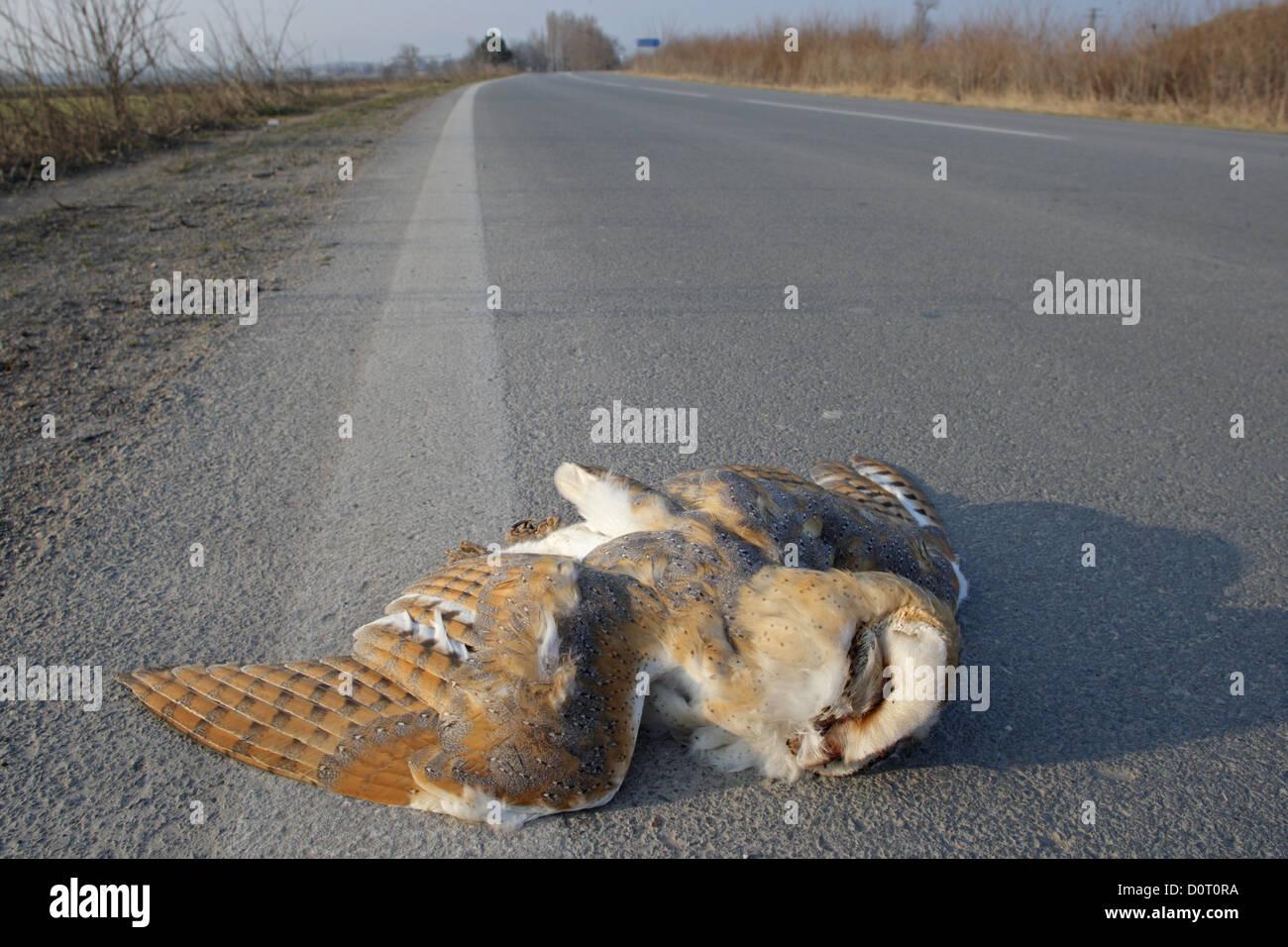 dead bird on the road,traffic victim, Bulgaria - Stock Image