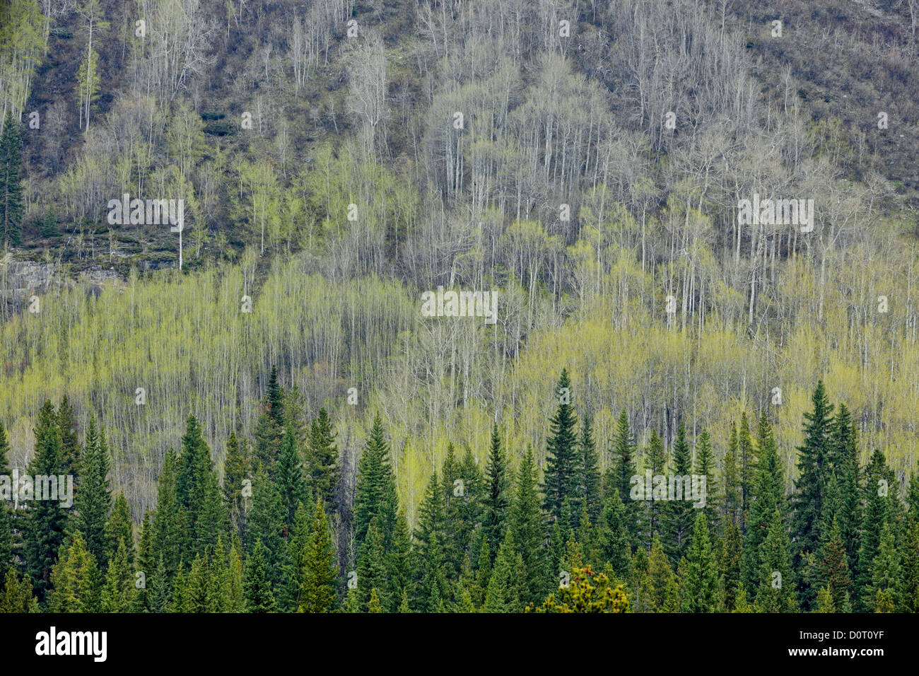 Slopes of Saskatchewan River Valley with aspens leafing out, Banff National Park, Alberta, Canada - Stock Image