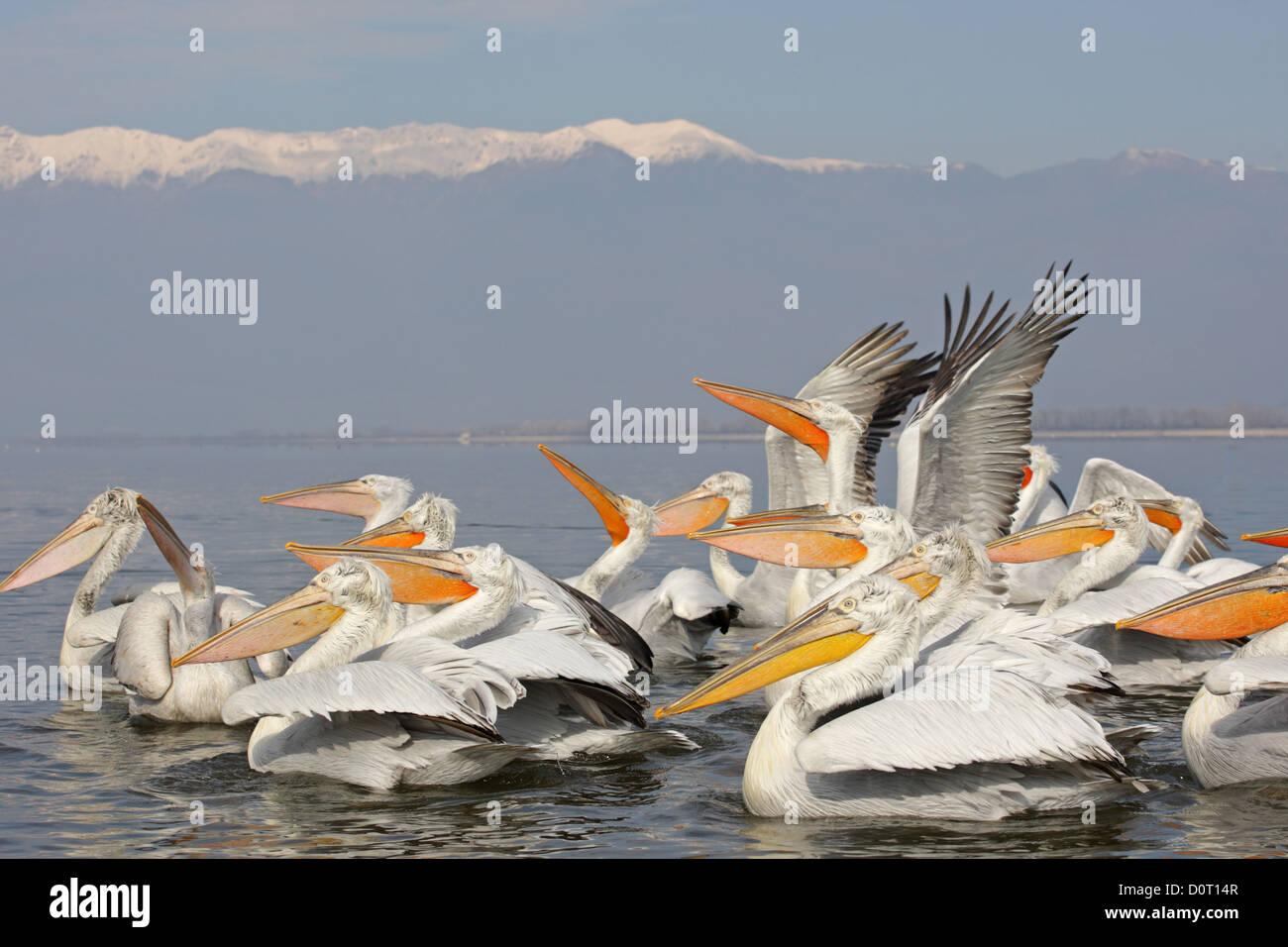 a group of Dalmatian Pelican. Pelecanus crispus.Lake Kerkini, Greece - Stock Image