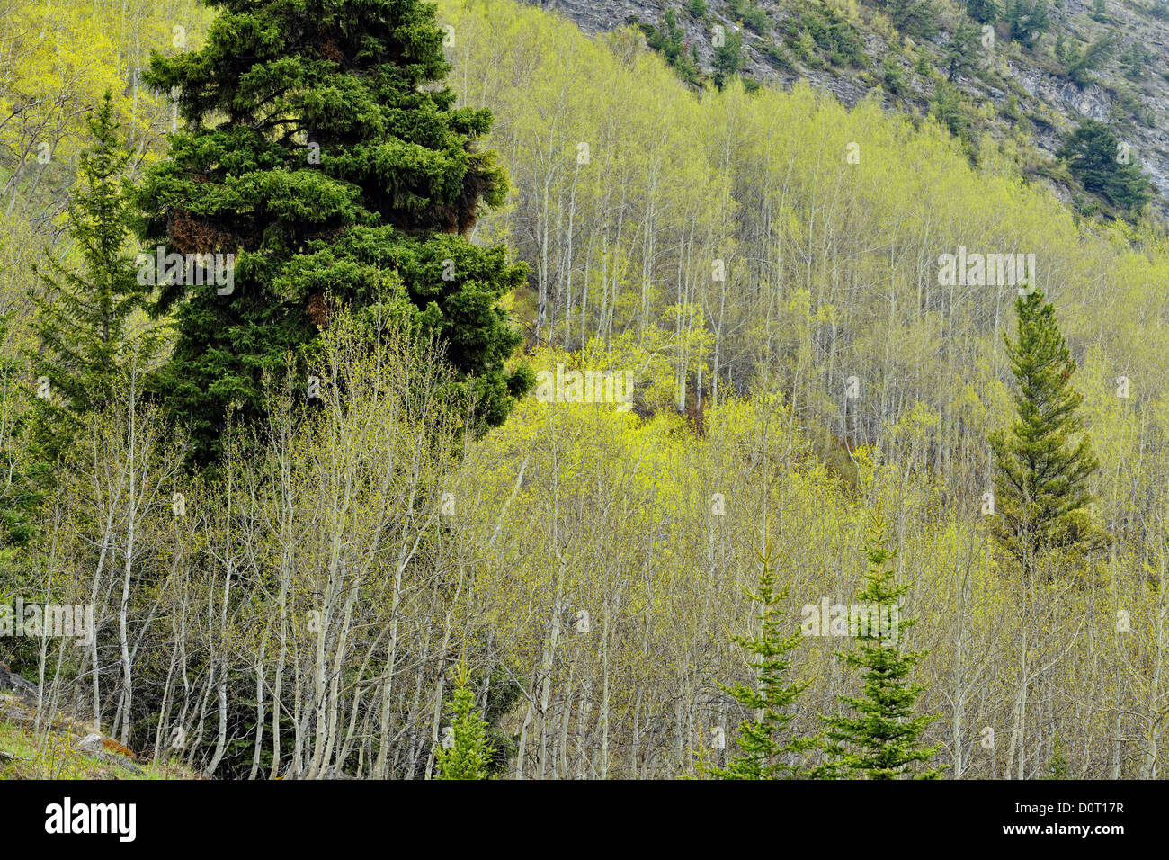 Aspens leafing out on the slopes of Cirrus Mountain, Banff National Park, Alberta, Canada - Stock Image