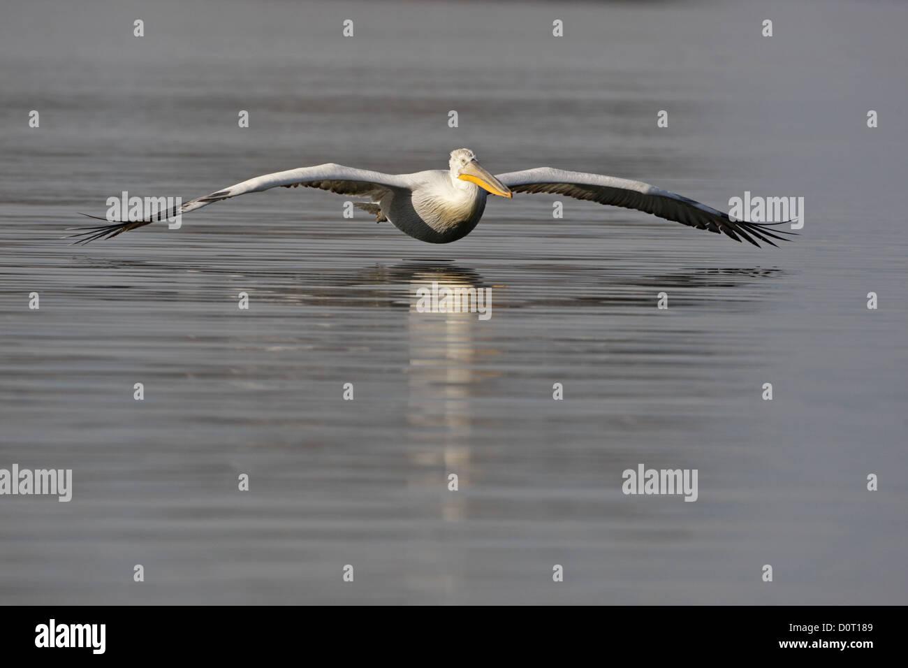 dalmatian pelican flighting, Pelicanus crispus, Kerkini Lake, Greece - Stock Image