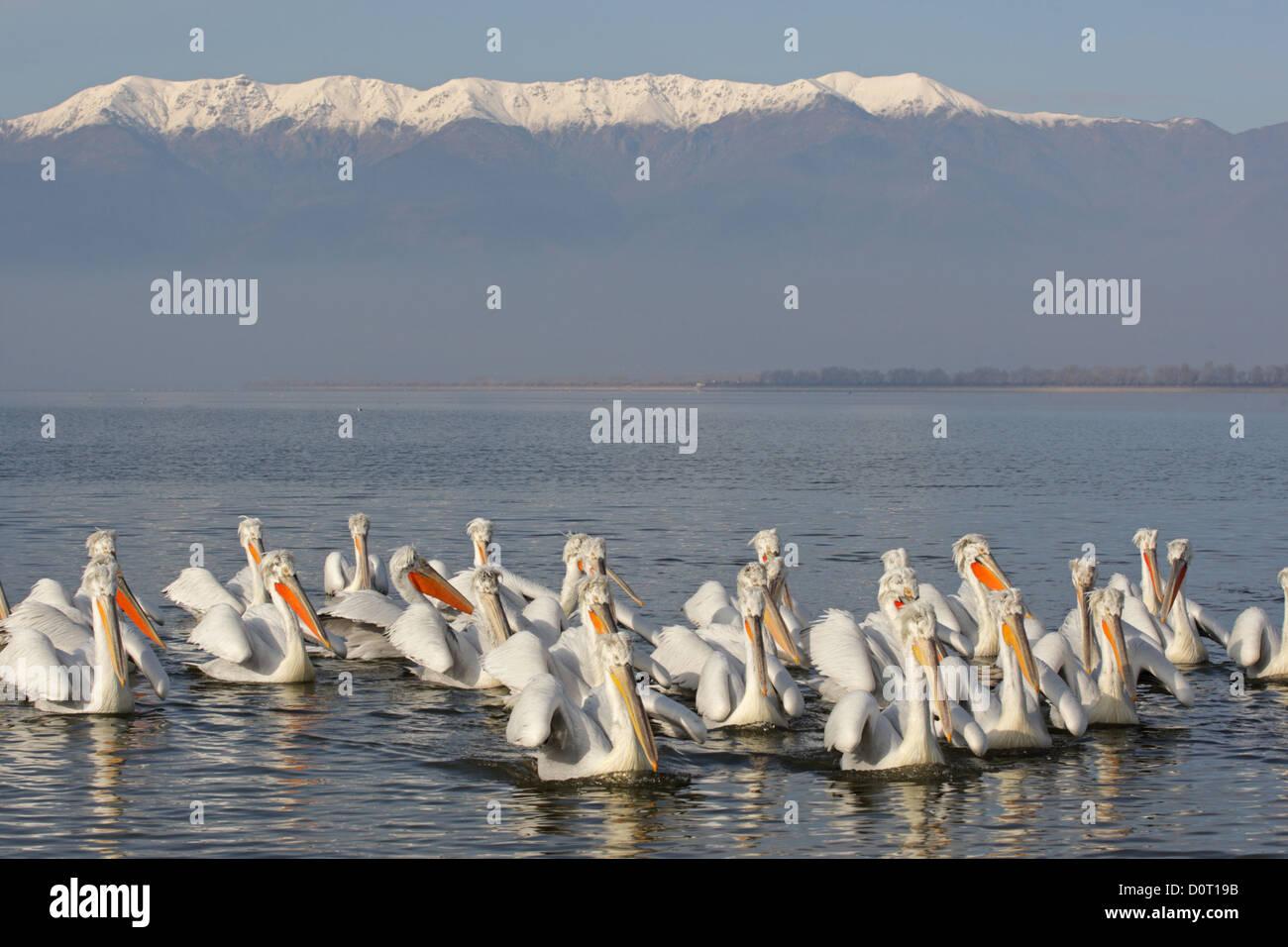 Dalmatian Pelican. Pelecanus crispus.Lake Kerkini, Greece - Stock Image