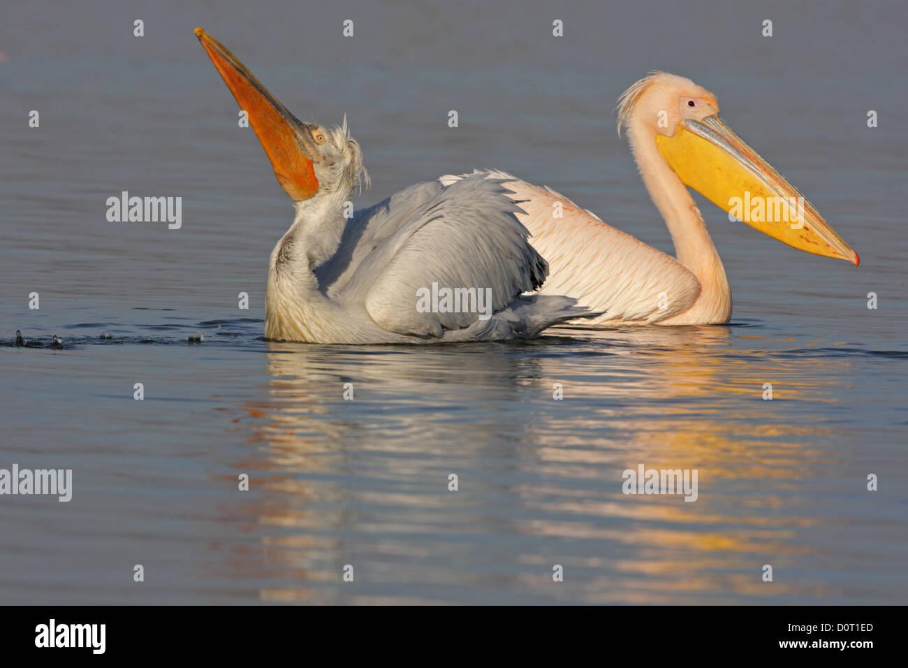 Dalmatian and Great White Pelican (Pelecanus onocrotalus,Eastern White Pelican, Rosy Pelican,White Pelican) in breeding Stock Photo