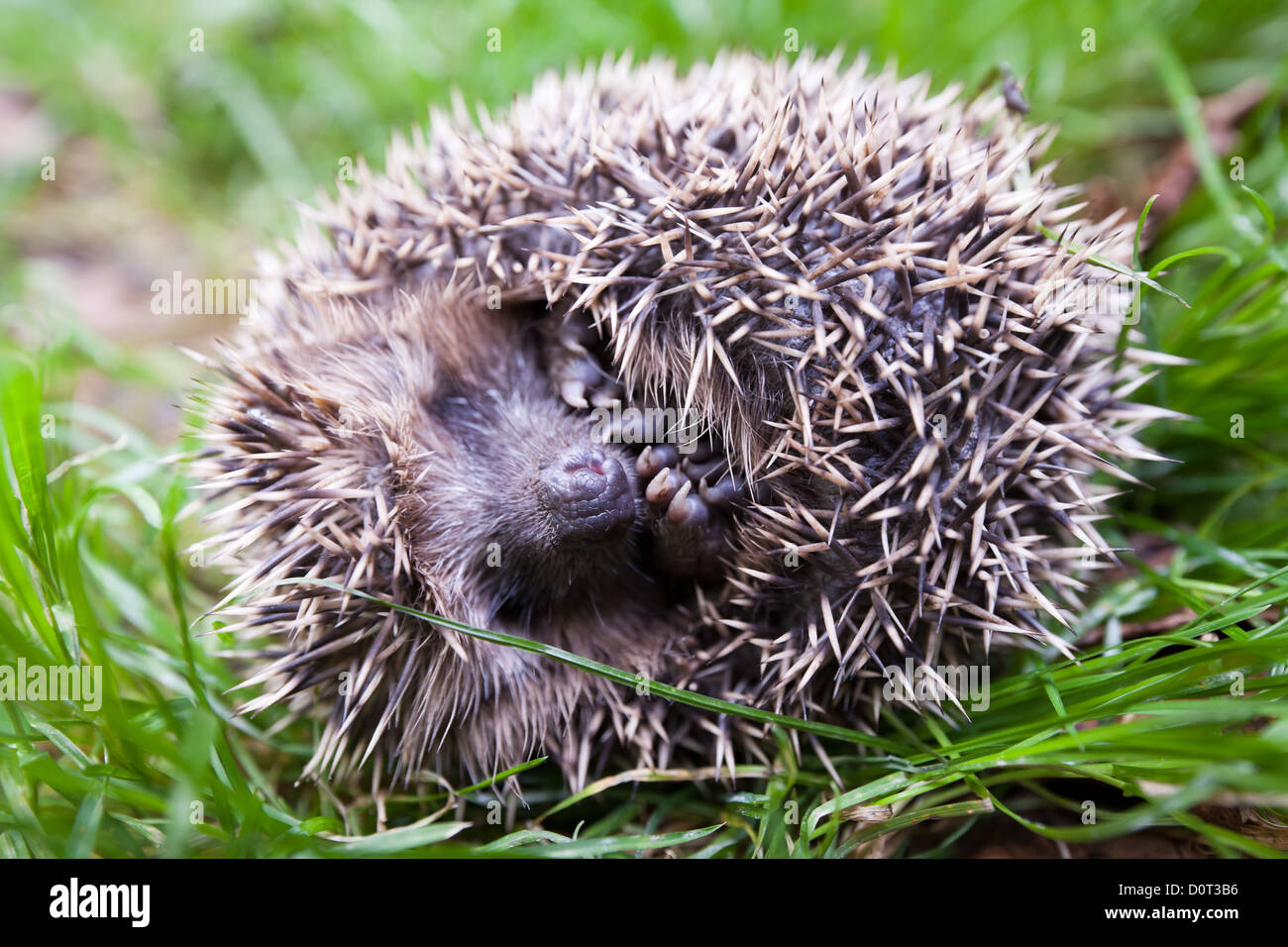 Scaring hedgehog rolled up into a ball and laying on the back. - Stock Image