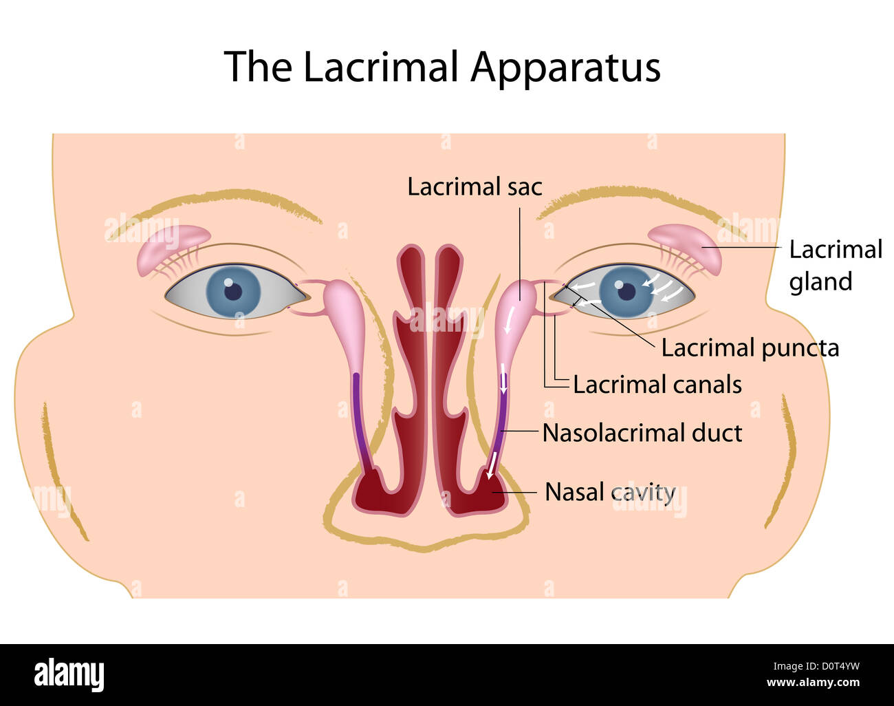 The lacrimal gland Stock Photo: 52161869 - Alamy