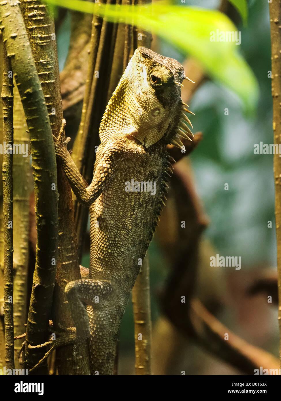 Acanthosaura capra, Dählhölzli, saurian, green procklenape, canton Bern, critters, crawlers, reptiles, - Stock Image