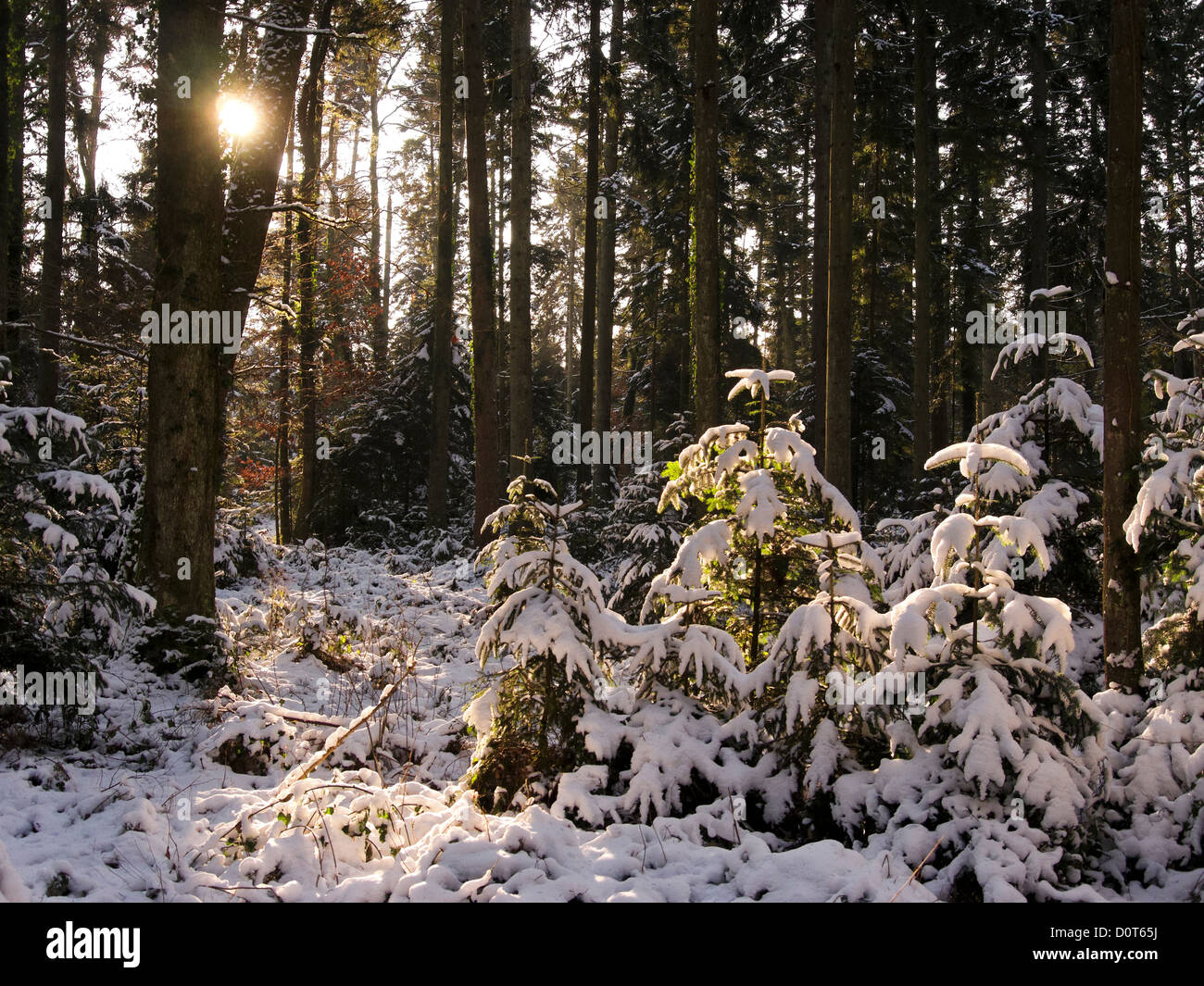 Bannwil, spruces, canton Bern, snow, Switzerland, sun, firs, wood, forest, winter, winter wood - Stock Image