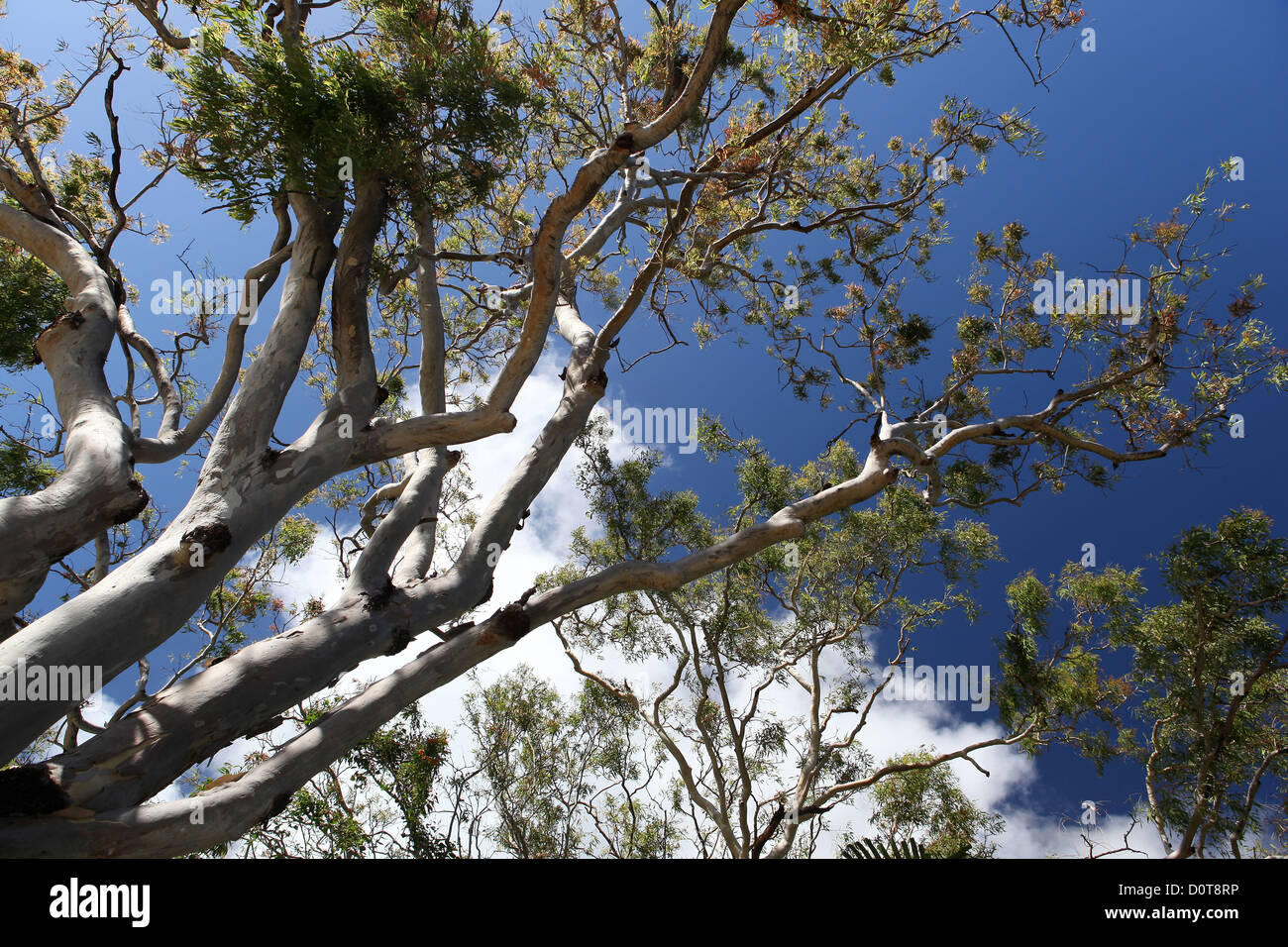 Tree, eucalyptus, karri, Ghost Gum, white, trunk, koala, endemically, typical, bark, sky, from below, leaf, leaves, - Stock Image