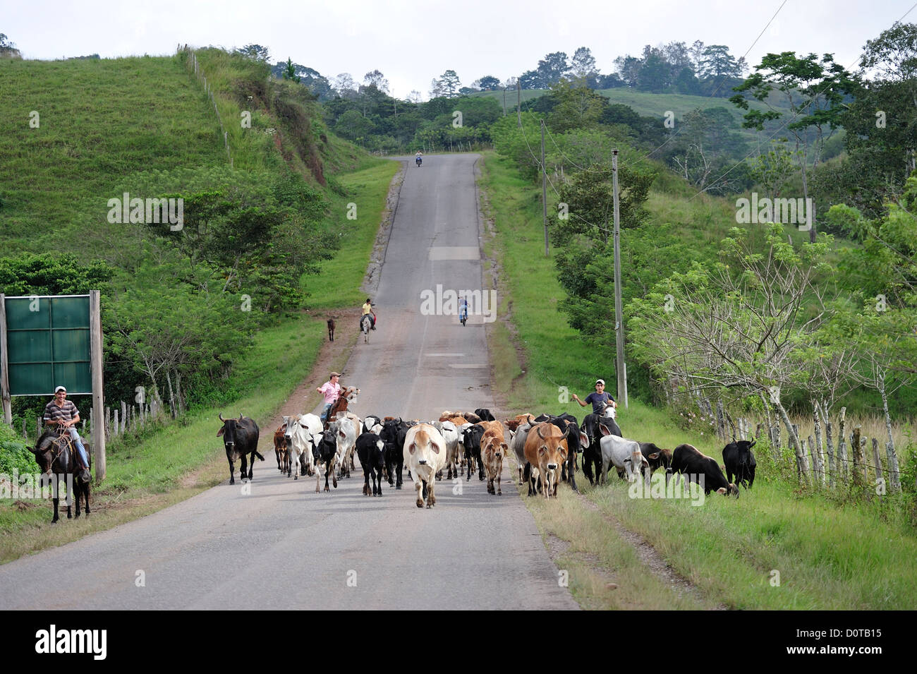 Cows, street, San Jeronimo, Central America, Honduras, Cattle drive, rural, herding, - Stock Image