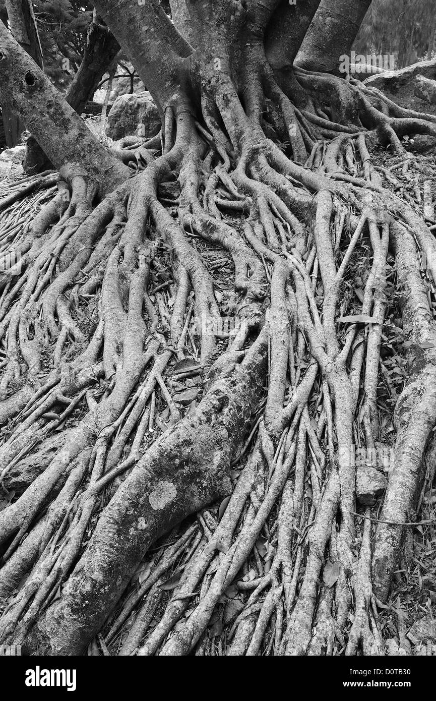 Tree, roots, Parque El Picacho, City Park, Tegucigalpa, capital, City, Central America, Honduras, nature - Stock Image