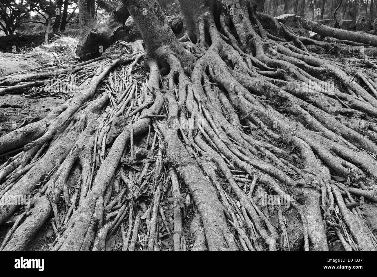 Tree, roots, Parque El Picacho, City Park, Tegucigalpa, capital, City, Central America, Honduras, nature Stock Photo