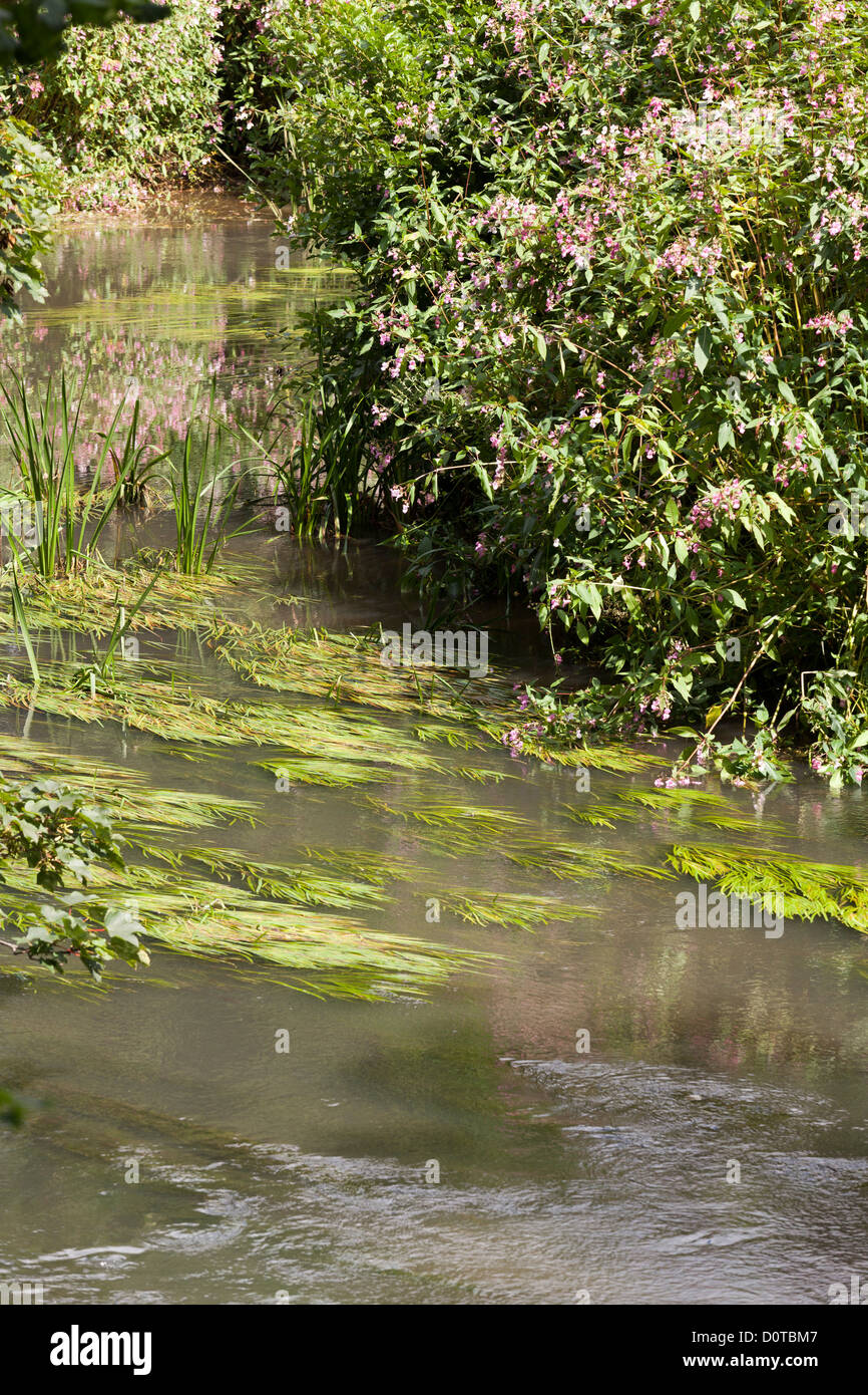 river weed in small slow running River Rother - Stock Image
