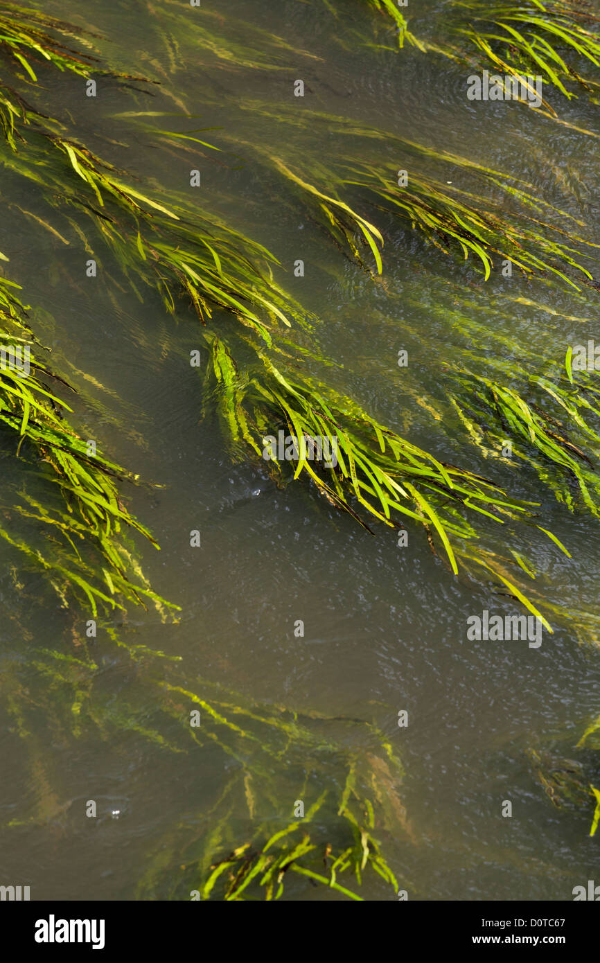 close view of flat leaf  river weed - Stock Image
