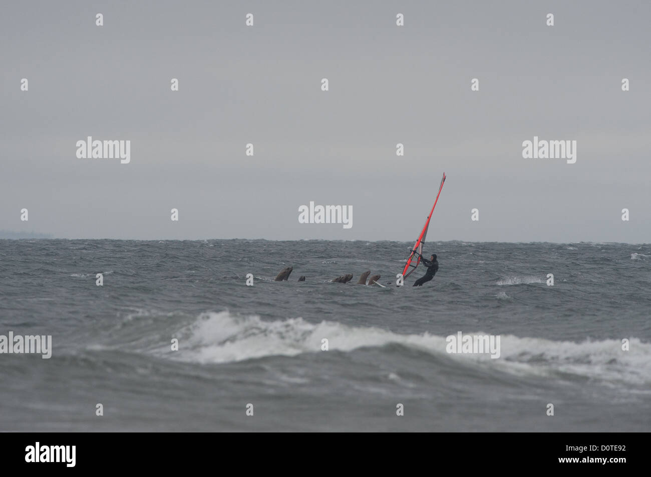 A lone windsurfer has a close encounter with a raft of Stellar Sea Lions. - Stock Image