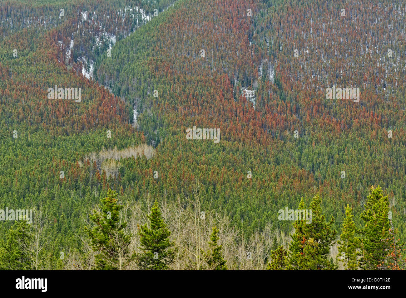 Mountain pine beetle damage- pine trees reddened and killed by insects, Kananaskis country, Alberta, Canada - Stock Image