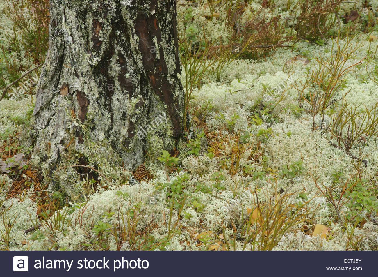 Europe, Sweden, Hamra, landscapes, forest, enchanted forest - Stock Image