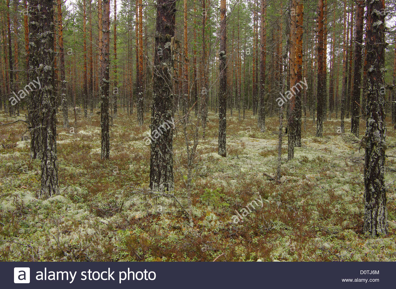 Europe, Sweden, Hamra, landscapes, forest, enchanted forest - Stock Image