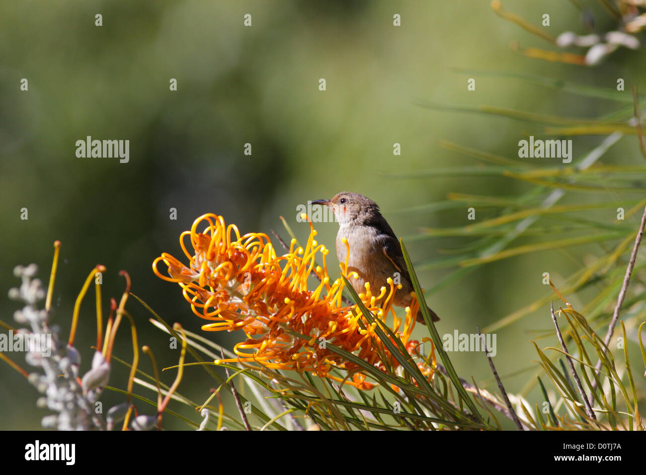 Female Scarlet Honeyeater (Myzomela sanguinolenta) on a Grevillea plant, Newrybar, New South Wales, Australia - Stock Image