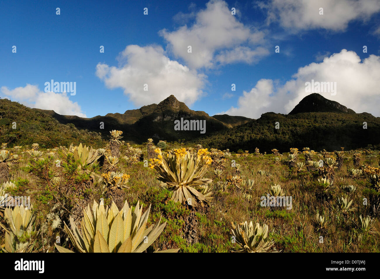 Flower, blooming, High, altitude, Andes, Frailejones, Totoro, Inza, Navado de Huilo, Colombia, South America - Stock Image