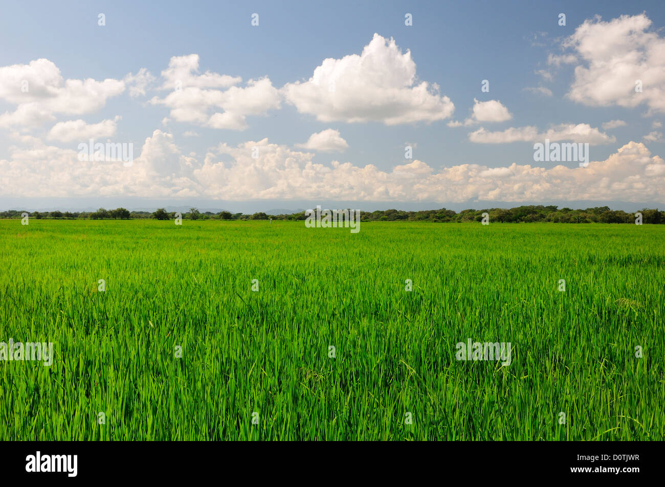 Rice, field, Saldana, Colombia, South America, green, agriculture - Stock Image