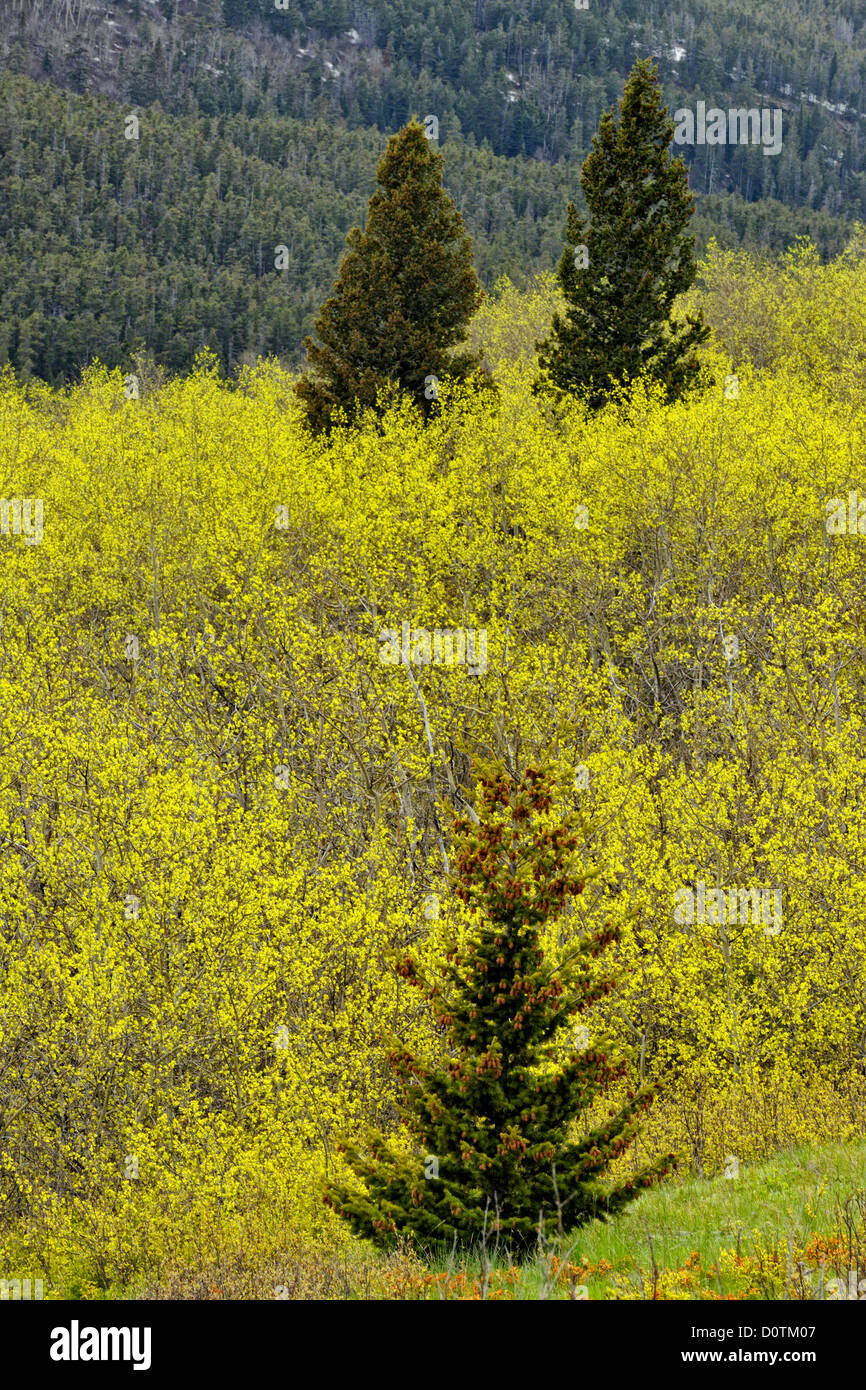 Aspens and spruces on the glacial moraines, Waterton Lakes National Park, Alberta, Canada - Stock Image