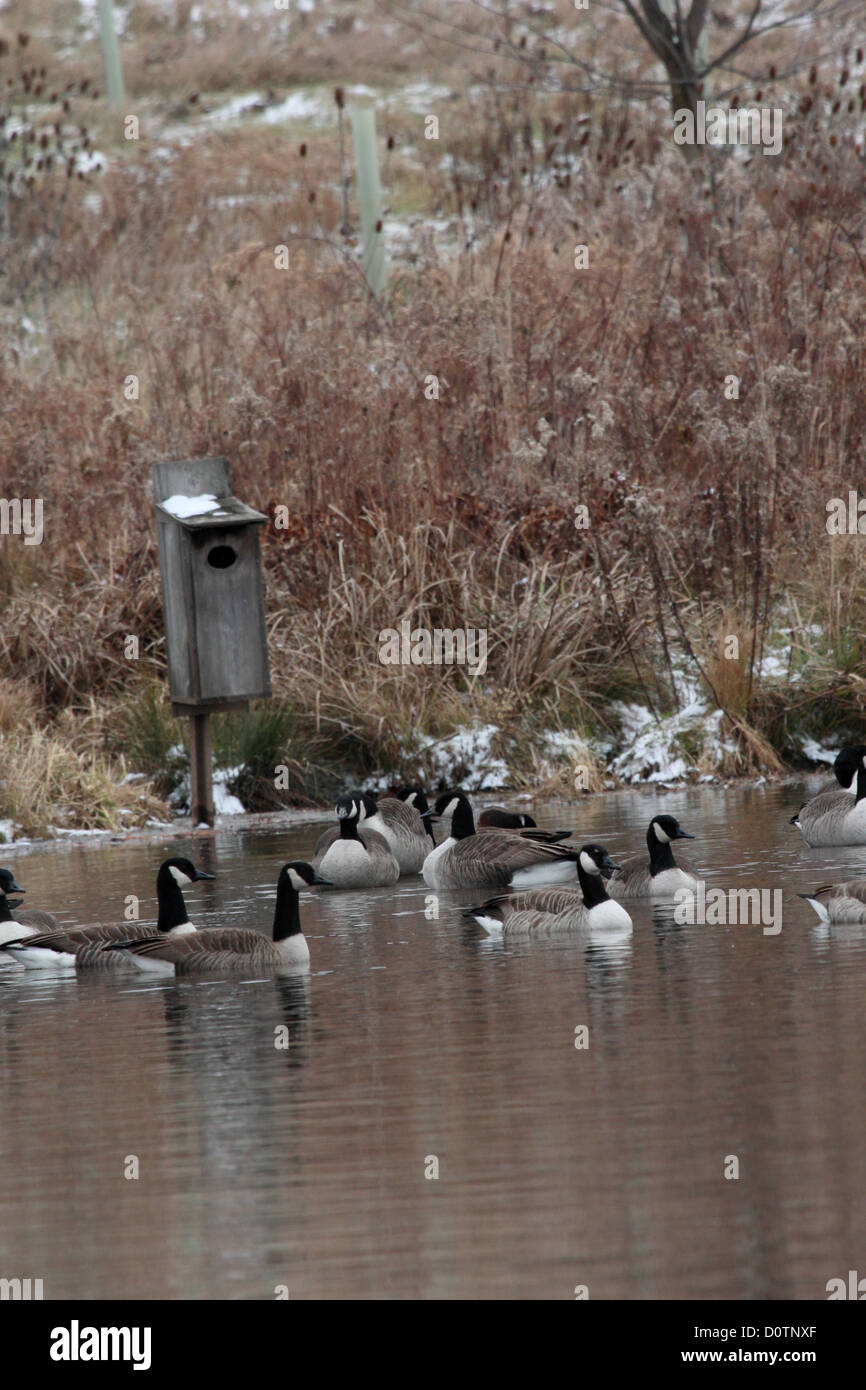 A small flock of Canada geese on a pond near a wood duck nesting box. - Stock Image