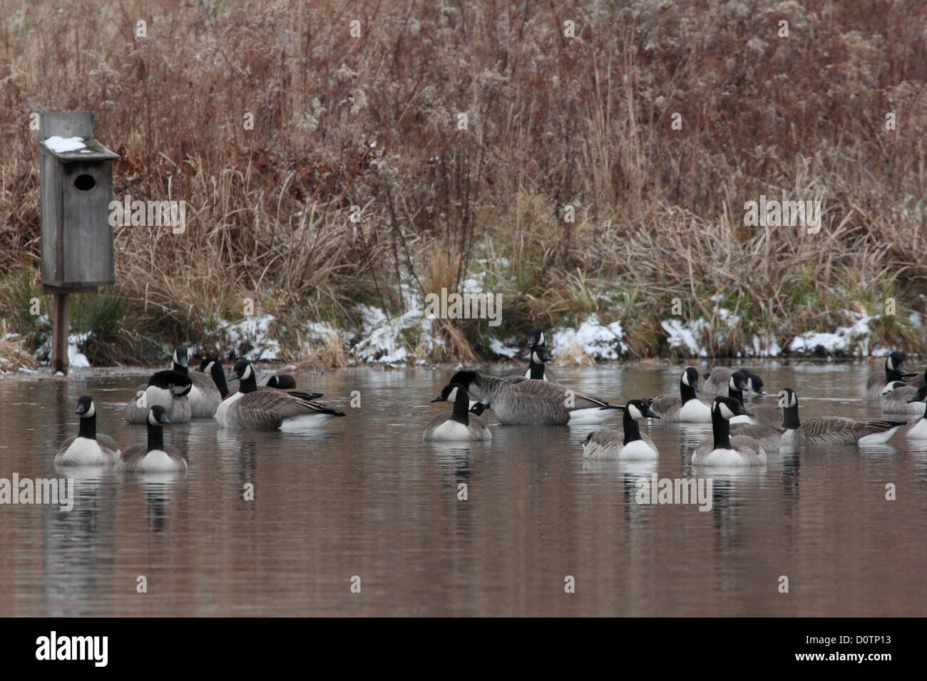 A flock of Canada geese laze on a pond in front of a wood duck box. - Stock Image