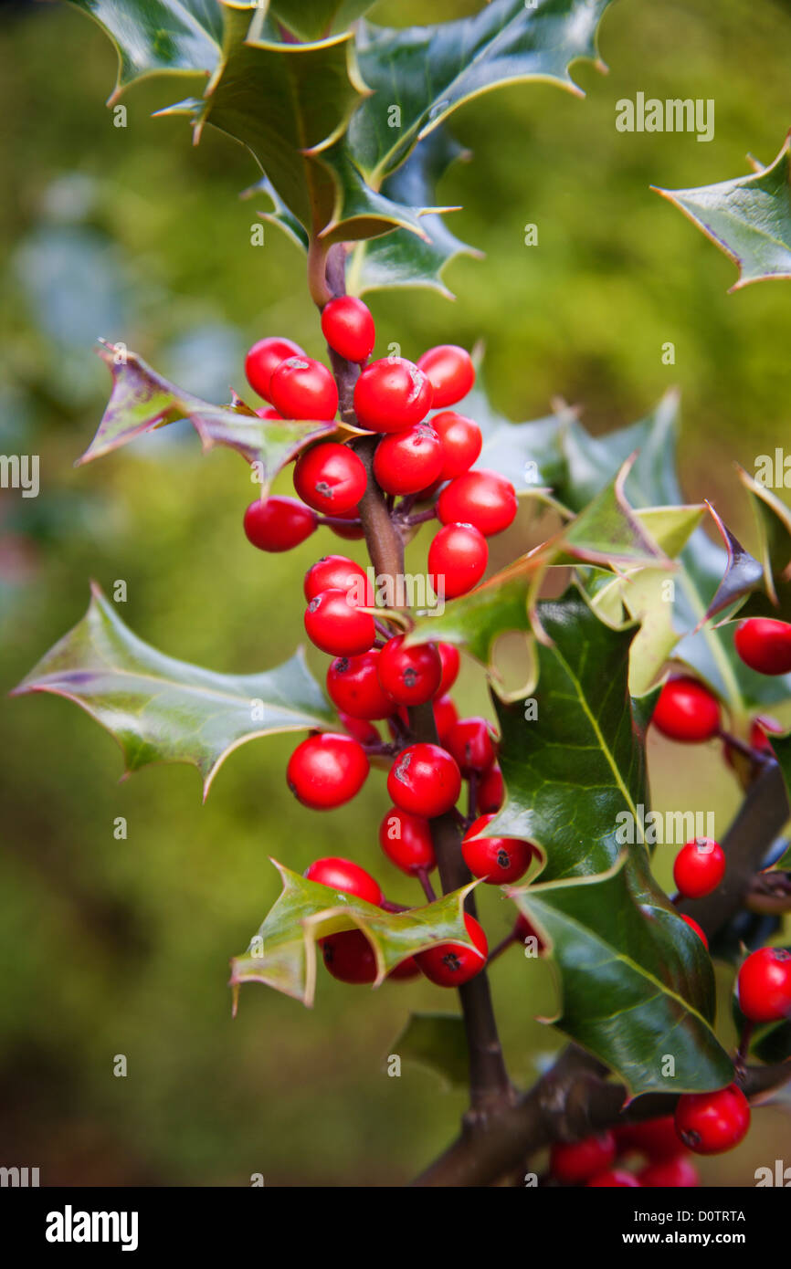 Fruit of a typical holly Christmas acebo - Stock Image