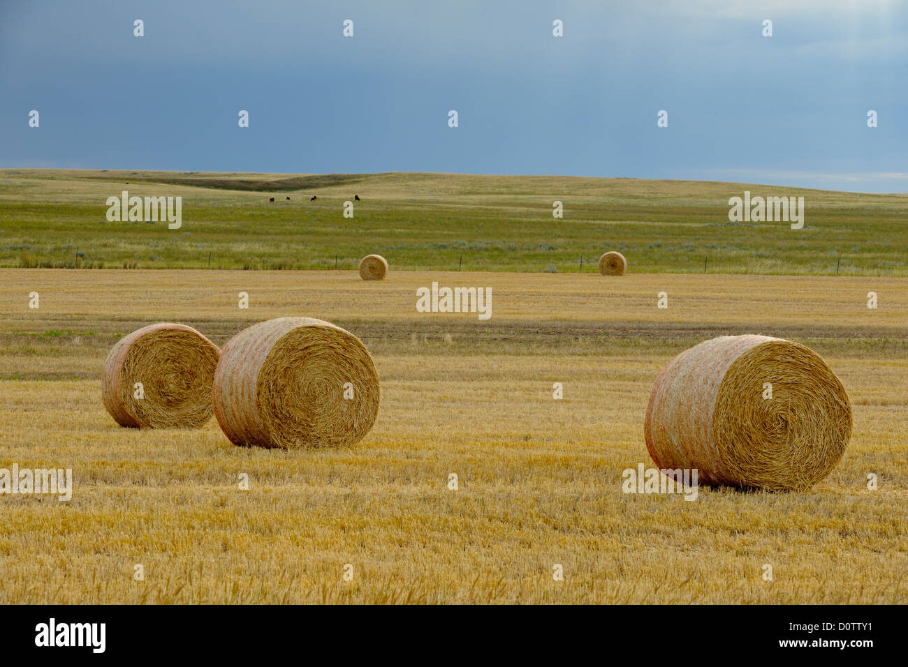Hay rolls on the prairie, with threatening skies, Glasgow, Montana, USA Stock Photo