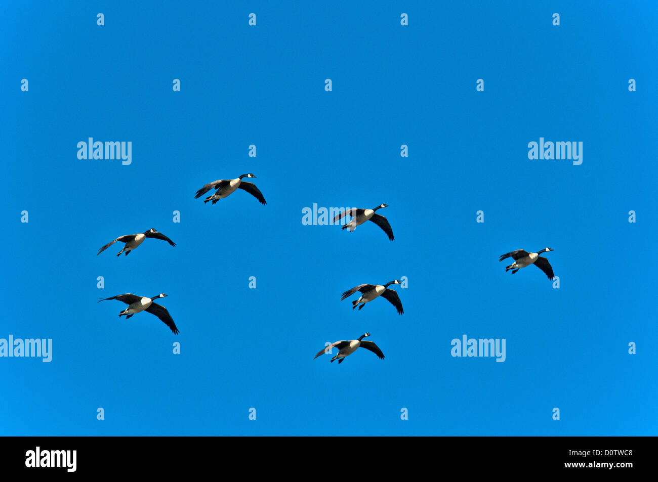 Canada geese, gilbert riparian, preserve, Arizona, USA, Vereinigte Staaten, Amerika, geese, flying, sky - Stock Image