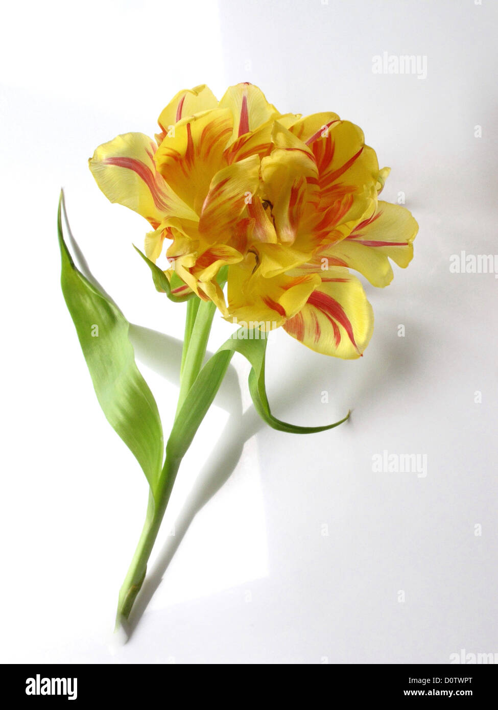 Flower Camellia Yellow Red Symbol Transitoriness Death Grief