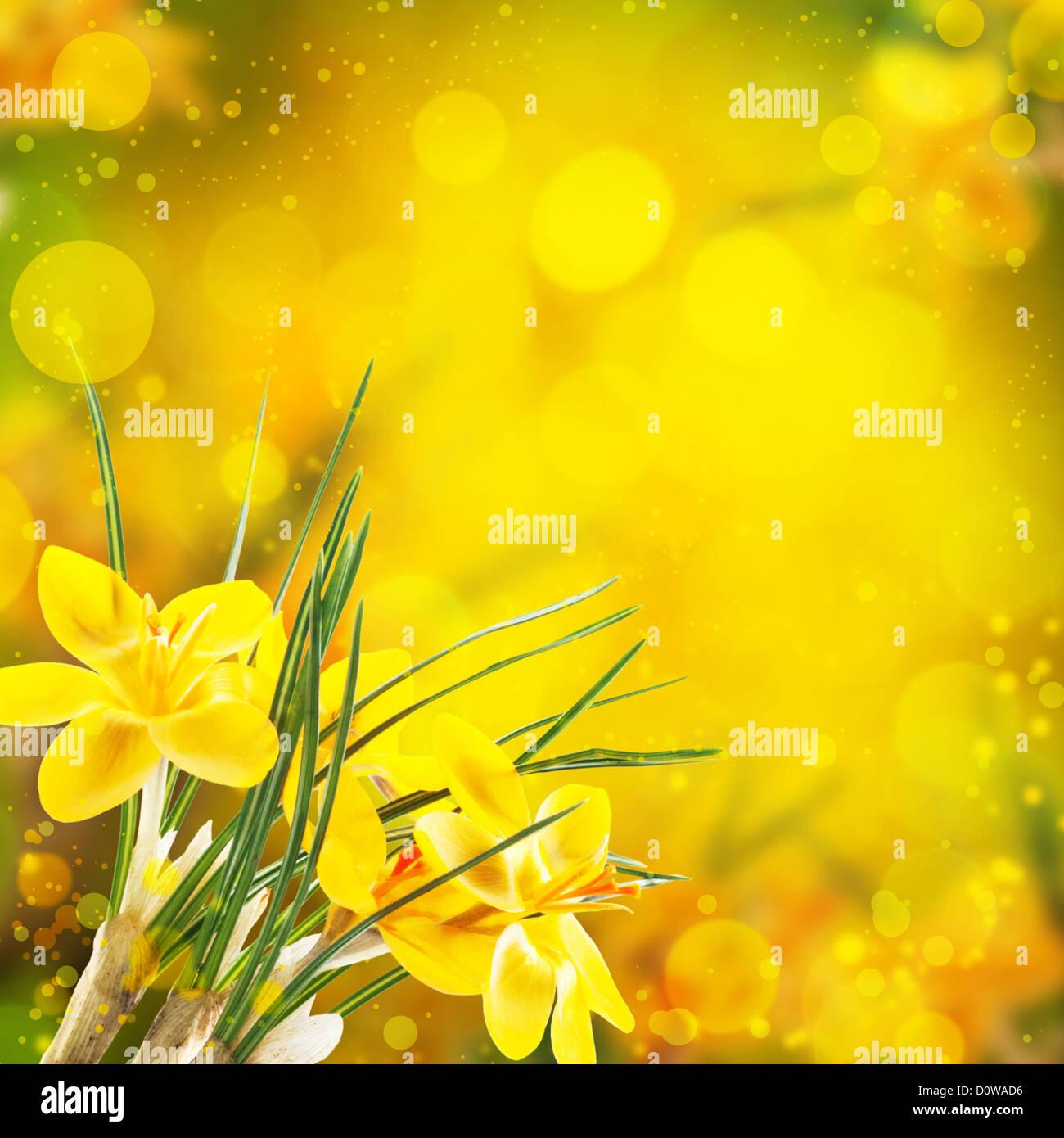 Yellow Crocus Flowers Wallpaper Stock Photos Yellow Crocus Flowers