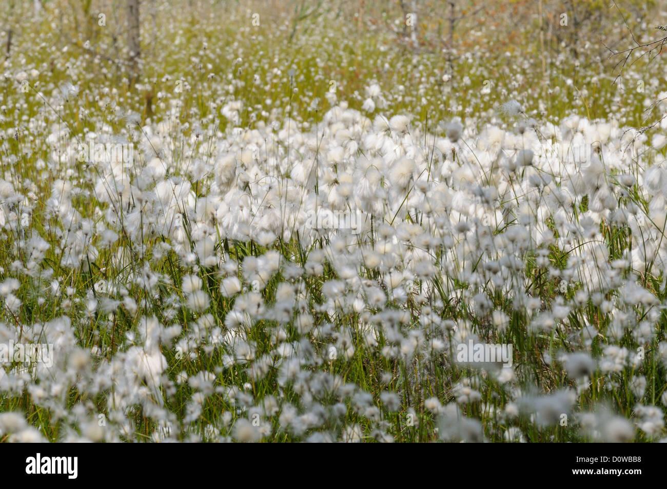 Moorlandschaft mit Wollgras, Eriophorum Stock Photo
