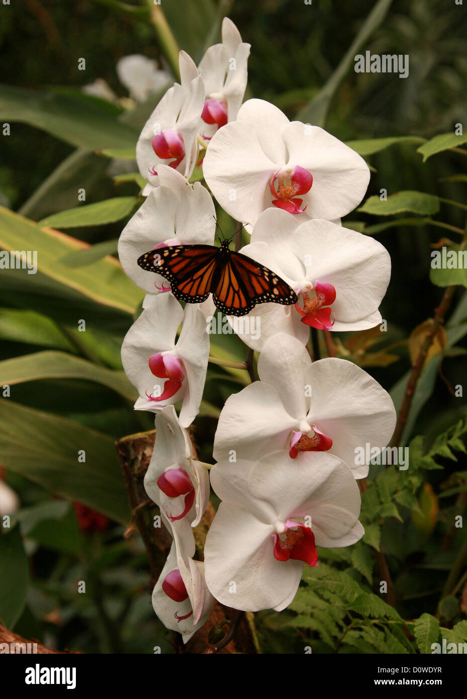 Moth Orchid, Phalaenopsis Hybrid Cultivar, Orchidaceae, and Monarch Butterfly, Danaus plexippus, Papilionoidea, - Stock Image