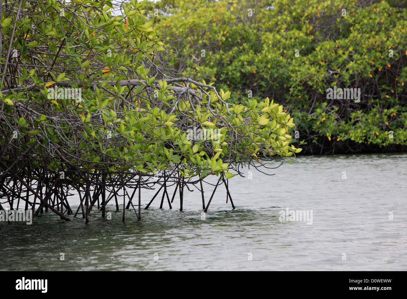 mangroves in Elisabeth bay, Isabela Island, on the Galapagos Islands, Ecuador - Stock Image