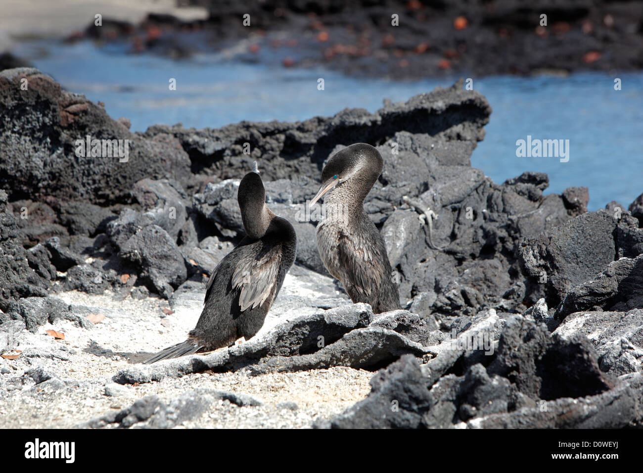 Flightless Cormorant on the Galapagos Islands, Ecuador - Stock Image