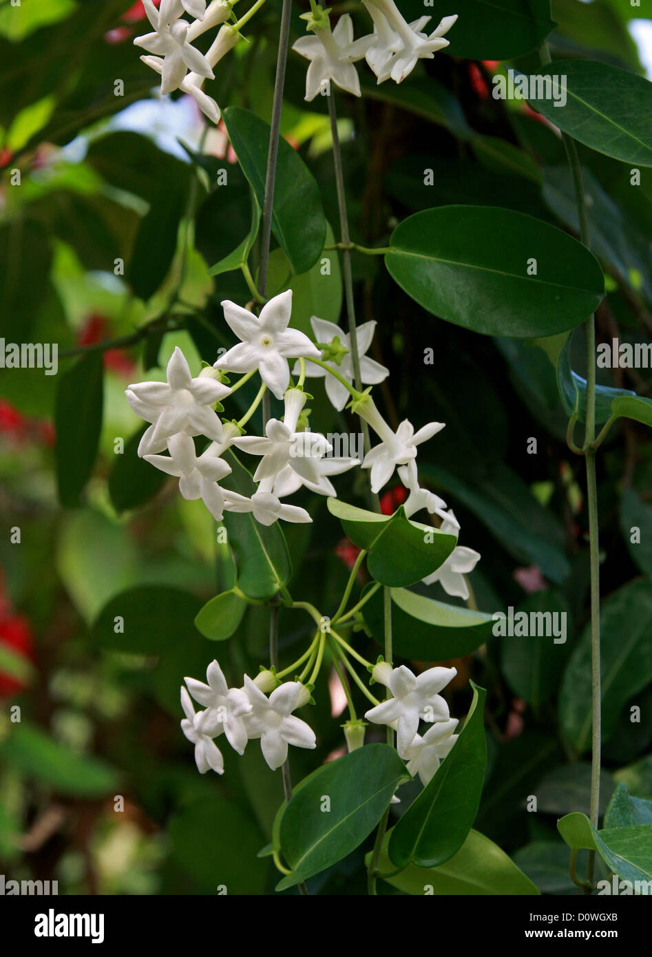 Stephanotis Floribunda Stock Photos Stephanotis Floribunda Stock