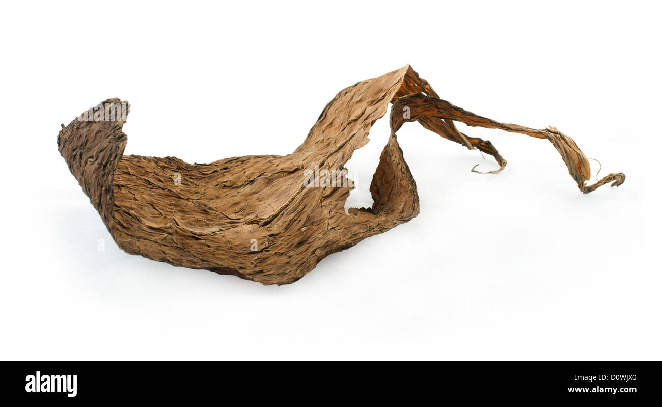 Dried tobacco leaves white isolated. Cuban aged tobacco - Stock Image