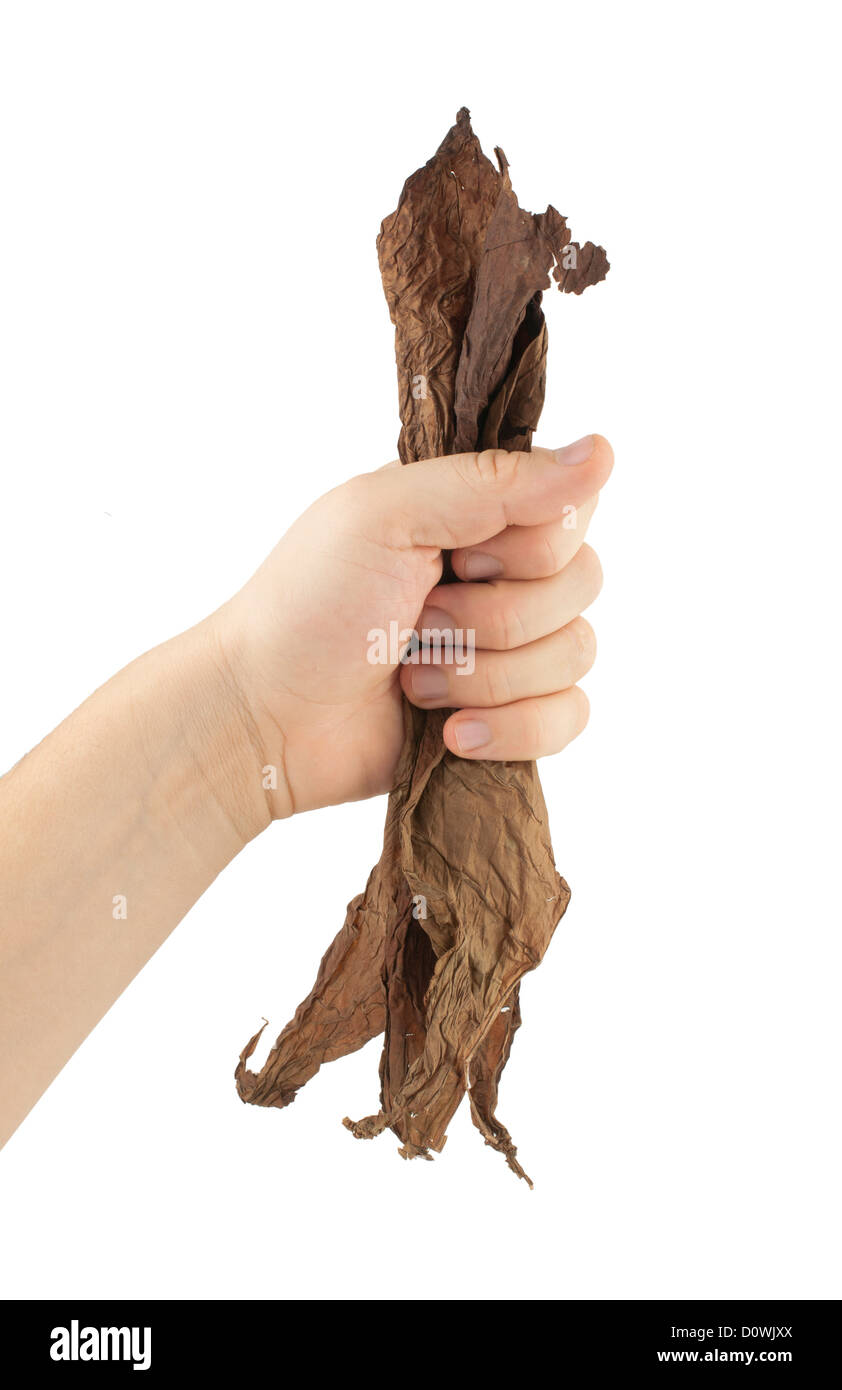 Hand holding dried tobacco leaves.White isolated - Stock Image